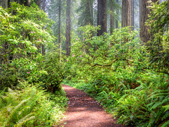 Morning Light, Damnation Creek Trail (optimalfocusphotography) Tags: northerncalifornia california usa landscape flowers nature nationalpark trees redwoods fog redwoodnationalpark forest rhododendron mist
