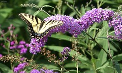 Harmony (Harry Lipson III) Tags: butterfly wings winge alit buddeleja purple flower blooming blossom garden harmony harmonious symbiotic harrylipson harrylipsoniii thephotographyofharrylipson easterntigerswallowtailbutterfly
