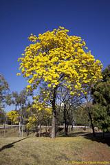 "Ipê Amarelo, Tabebuia [chrysotricha or ochracea]. Ipê-amarelo em Brasília, Brasil. (Flávio Cruvinel Brandão) Tags: ""tabebuia"" naturaleza natureza série séries series ""ipêamarelo"" ""the trumpet tree"" ""golden ""pau darco"" árvore árvores tree trees ipê ipês amarelo yellow cerrado brasil brazil brasília nature cor cores fláviobrandão"