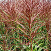 red grass close-up
