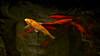 Shanghai - Poissons rouges. (Gilles Daligand) Tags: chine china shanghai bassin poissonsrouges redfish panasonic gx7