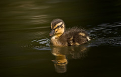 _SDC8332-1 (cynthiathayer2017) Tags: duckling young eugeneoregon july2014 pond swimming alone golden light reflection