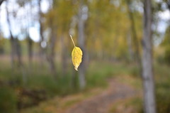 Leaf not quite falling (steve_scordino) Tags: