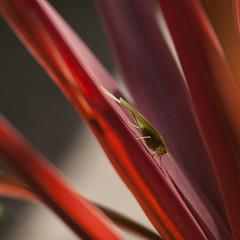 Sauterelle daltonienne **---+----° (Titole) Tags: sauterelle grasshopper red plant squareformat titole nicolefaton thechallengefactory winnerschallenge 15challengeswinner