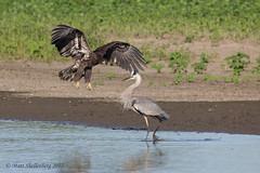 Juvie Bald Eagle and Great Blue Heron (Matt Shellenberg) Tags: bald eagle great blue heron baldeagle greatblueheron