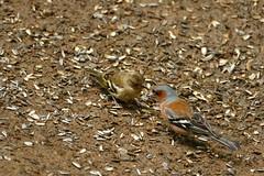 feathered friends (Herr Nergal) Tags: smileonsaturday fz1000 lumix panasonic bridge sensor saarland animals tiere vogel vögel birds nature natur featheredfriends