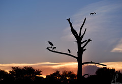 Sunset at Green Cay (BMADHudson) Tags: southflorida silhouette sunset sky sun colorful clouds florida floridaphotography floridawetlands floridasunset bird bocaraton fly blue orange greencaynaturecenter greencay greencaywetlands