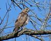 Red-tailed Hawk (helmutnc) Tags: hennysanimals hg specanimal sweetfreedom