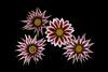Gazania (Rodger E Clark) Tags: landscape gazania africandaisy flowers red yelloe white black