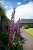 DSC_6983 (artsynancy) Tags: shetlandislandsuklerwick shetlandislands uk lerwick delphiniums flowers garden