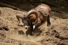 The strong Mouflon (marinadelcastell) Tags: mouflon mufflon muflón mufló ovisgmelinimusimon mollóparc pyrenees pyrenäen pyrénées pirineos pirineus horn corne cuerno banya dust poussière staub polvere polvo pols
