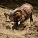 The strong Mouflon