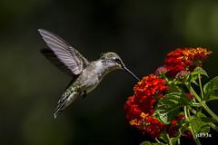 Ruby-throated Hummingbird (jt893x) Tags: 150600mm archilochuscolubris bif bird d500 flowers hummingbird jt893x nikon nikond500 rubythroatedhummingbird sigma sigma150600mmf563dgoshsms specanimal