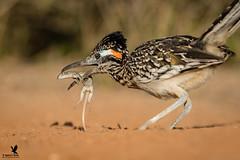 The Ravenous Roadrunner (Osprey-Ian) Tags: texas roadrunner santaclararanch animal nature fauna macro