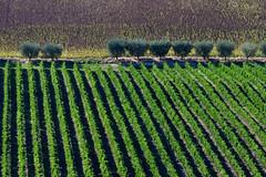 vigna - ulivi - girasoli (luporosso) Tags: natura nature naturaleza naturalmente nikon paesaggio paesaggi landscape landscapes marche italia italy campagna campi vigna vineyard girasoli sunflowers countryside scorcio scorci allaperto outdoor