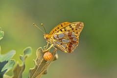 Issoria lathonia (C.Frayle) Tags: mariposa borboleta nature naturaleza nikon butterfly bokeh profundidad campo profundidaddecampo lepidoptera insectum