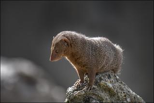 The common dwarf mongoose (Helogale parvula)