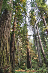 Giants (Aaron Fredericy) Tags: redwoodsnationalpark redwoods redwood redwoodnationalforest california hiking green summer forestfire smoke pacificnorthwest pnw camping explore