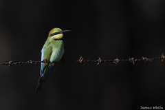 Rainbow Bee-eater (Jims Wildlife) Tags: meropsornatus bird nature wildlife animal rusty barbedwire rainbowbeeeater migratory victoria