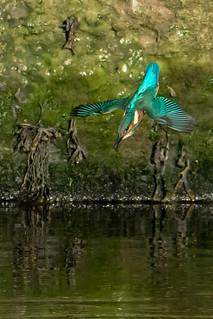 dsc_7980 Kingfisher dive