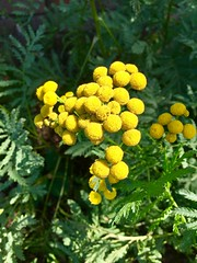 Garden Tansy (stashheap) Tags: tansy yellow flowers