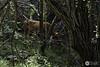 Vaca solitaria en el bosque (J.Gargallo) Tags: vaca cow bosque verde linaresdemora linares arboles arbol hierba canon canon450d canonefs18200 eos eos450d 450d teruel aragón españa