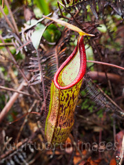 Pitcher plant (whitworth images) Tags: jungle asia lid gunungjasar southeastasia mtjasar cameronhighlands brinchang nature brown red malaysia pitcherplant plant pitcher unusual carnivorous forest tanahrata mountjasar outdoors green jug pahang flower detail