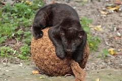 Young Jaguar (K.Verhulst) Tags: jaguar cats cat artis artiszoo amsterdam puppy cub blackjaguar welp coth5 ngc npc