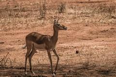 FEMALE IMPALA (dmberman1) Tags: femaleimpala eastafrica wildlife impala tarangirenationalpark animals tanzania africasafari