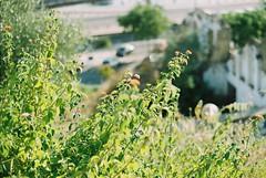 F100005 (saracarodrigues) Tags: pentax spotmatic asahipentaxspotmatic fujicolor200 setubal portugal 1stroll experience plants