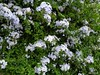 Cascade (Paula Luckhurst) Tags: plumbago flowers plants climbers leaves nature gardens lilac green greenleaves outdoor