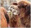 Feast (ctofcsco) Tags: 1div canon colorado explore northamerica usa animal camel grass brown eos1d mark iv canoneos1dmarkiv ef200mmf2lisusm14x ef200mm f2l is usm 14x extender teleconverter ef14x ef14xii super telephoto supertelephoto renown pretty explored esplora 1d eos denver co zoo city park