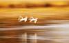 Lake Izunuma dyed in golden color. (HIromi Kano) Tags: japan izunuma miyagi kurihara swan nature wildbird wildlife animal fly flying eaafp ramsarconvention autumn lake water 日本 宮城県 伊豆沼 栗原市 ハクチョウ whooperswan 白鳥 飛翔 秋 自然 野鳥