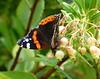 Vanessa atalanta (Red Admiral) (TPittaway) Tags: redadmiral vanessaatalanta strawberrytree arbutusunedo cholsey oxfordshire england september2017 tonypittaway butterflies lepidoptera nymphalidae