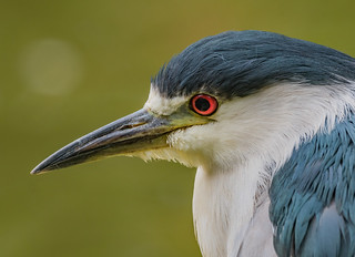 Night Heron - close up