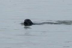 Seal (jehazet) Tags: zeehond seal phocavitulina waddenzee jehazet