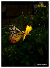 Color Me Yellow (RanadipRoy) Tags: butterfly orange yellow flowers flower red plants leaves garden food feed insect barrackpore kolkata westbengal india explore nature outdoor nokia lumia