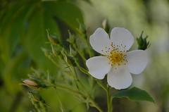 WHITE (Duncan Disorderly2011) Tags: white flower single petal nikon d7000 save earth