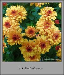 Chrysanthemum 20 (M.J.Woerner) Tags: november fallmums asteraceae chrysanths autumcolors postermums chrysanthemum autumflower