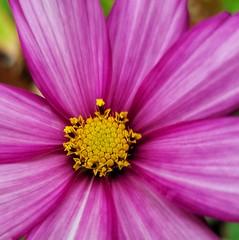 Cosmos before a rain shower 😁 (leannehall3) Tags: cosmos pink flower flowersarefabulous garden hull closeup petals closeupphotography samsung galaxys7edge