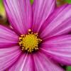 Cosmos before a rain shower 😁 (explored) (LeanneHall3 :-)) Tags: cosmos pink flower flowersarefabulous garden hull closeup petals closeupphotography samsung galaxys7edge explore explored flowersarebeautiful flowerflowerflower
