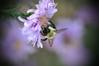 Happy Bokeh Wednesday (ladybugdiscovery) Tags: happybokehwednesday bokeh bee bumble insect macro