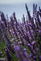 Last memories of lavender (freuddy) Tags: lavande lavender france provence valensole fields flower purple blue nature