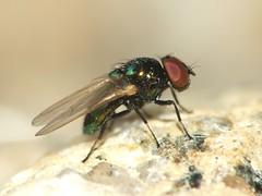 Lamprolonchaea smaragdi (male) (ruiamandrade) Tags: lamprolonchaea smaragdi lonchaeidae diptera fly mosca insectos insects nature natureza
