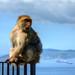 Gibraltar Barbary Ape