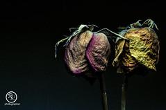 Rosas (Rogel Luna) Tags: flores rosas naturaleza