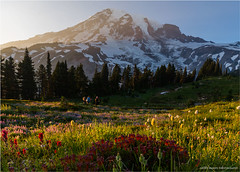 Mount Rainier Wildflowers (geoff_sharpe) Tags: mount rainier national park washington wildflowers