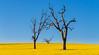 Canola field near Harden, Australia (David_Monaghan) Tags: canola rapeseed
