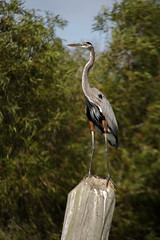 Great blue heron (Ardea herodias) (famasonjr) Tags: birds nature wildlife tree forest water river heron blue canoneos7d canonefs18200mmf3556is reserve wetland