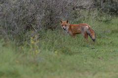 R17_0801 (ronald groenendijk) Tags: cronaldgroenendijk 2017 rgflickrrg vulpesvulpes animal fox groenendijk holland nature natuur natuurfotografie netherlands outdoor rodevos ronaldgroenendijk vos wildlife